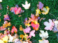 TURN ON IMAGES to see autumn leaves on green grass.